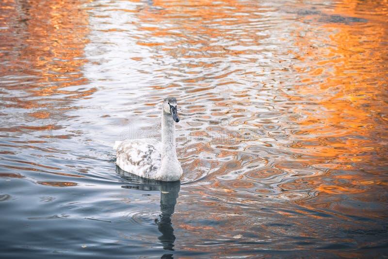 Молодое заплывание молодого лебедя лебедя в темной воде стоковая фотография