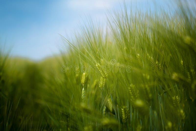 Молодое зеленое поле урожая ячменя стоковые изображения rf