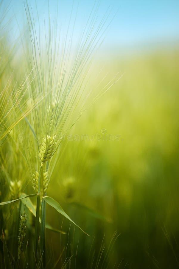 Молодое зеленое поле урожая ячменя стоковое фото rf