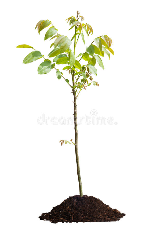 Молодое изолированное дерево грецкого ореха стоковые фотографии rf