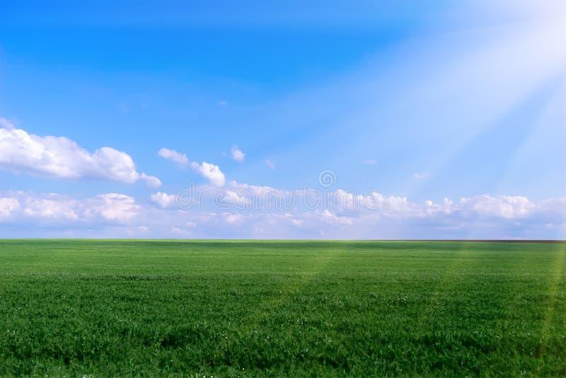 Молодое поле зеленого гороха, голубое небо и лучи солнца стоковое фото