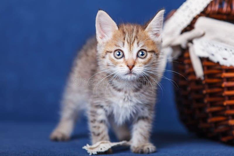 Молодое пребывание котенка на голубой предпосылке стоковые фотографии rf
