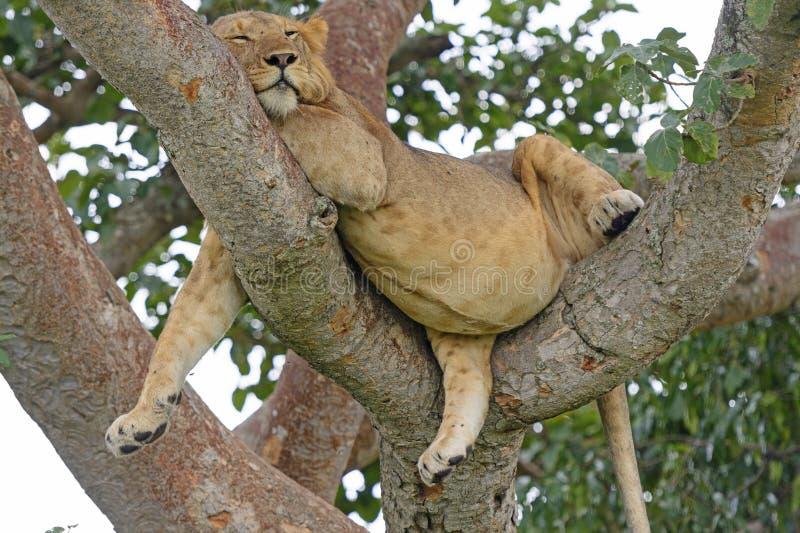 Молодой африканский мужской лев уснувший в дереве стоковые изображения