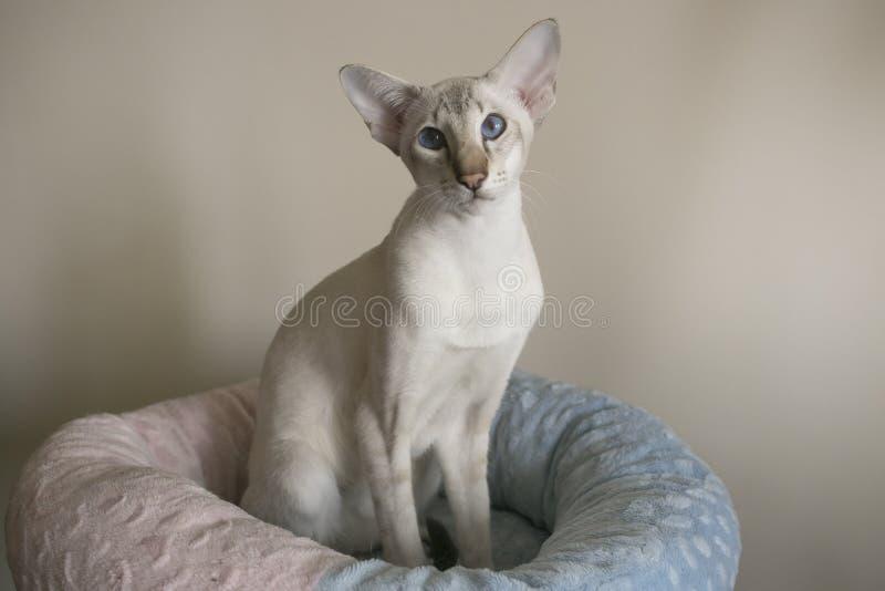 Молодой белый восточный кот при голубые глазы сидя внутри стоковые фотографии rf