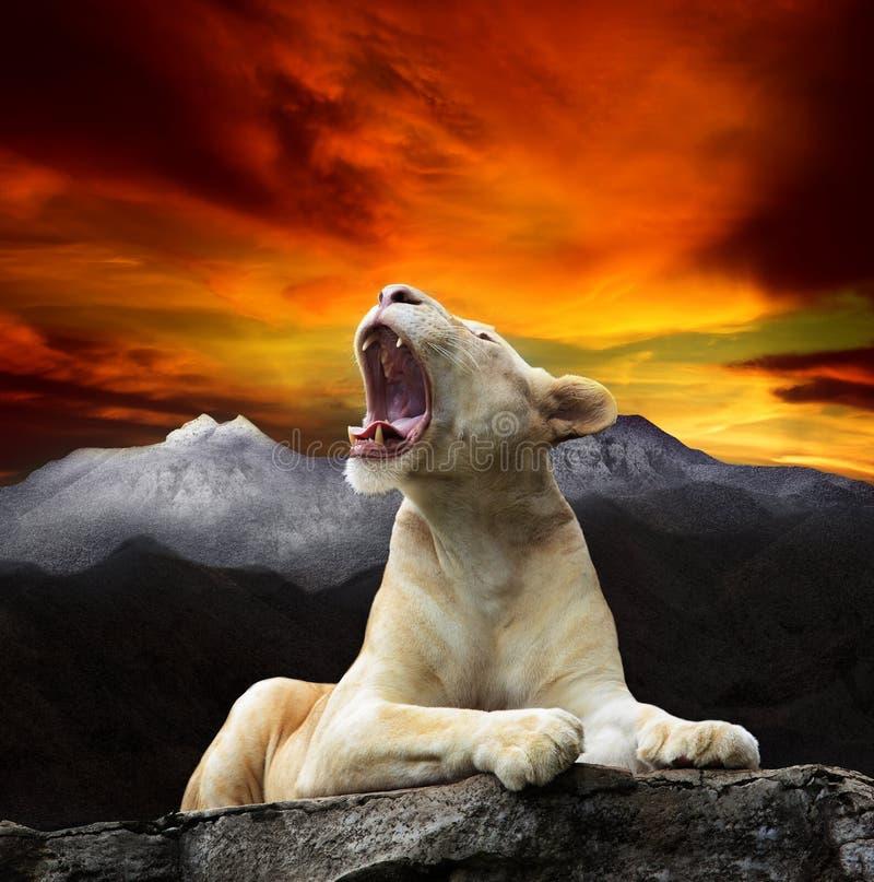 Молодой белый лев, лежать львицы и рык на скале горы против красивой dusky пользы неба для короля одичалого, глуши, руководителя  стоковая фотография