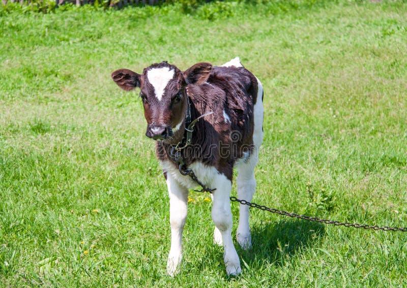 Молодой бык пася на луге в деревне стоковое фото rf