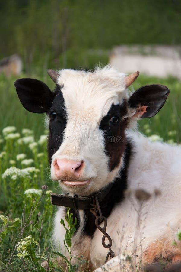 Молодой бык пася на луге в деревне стоковое изображение