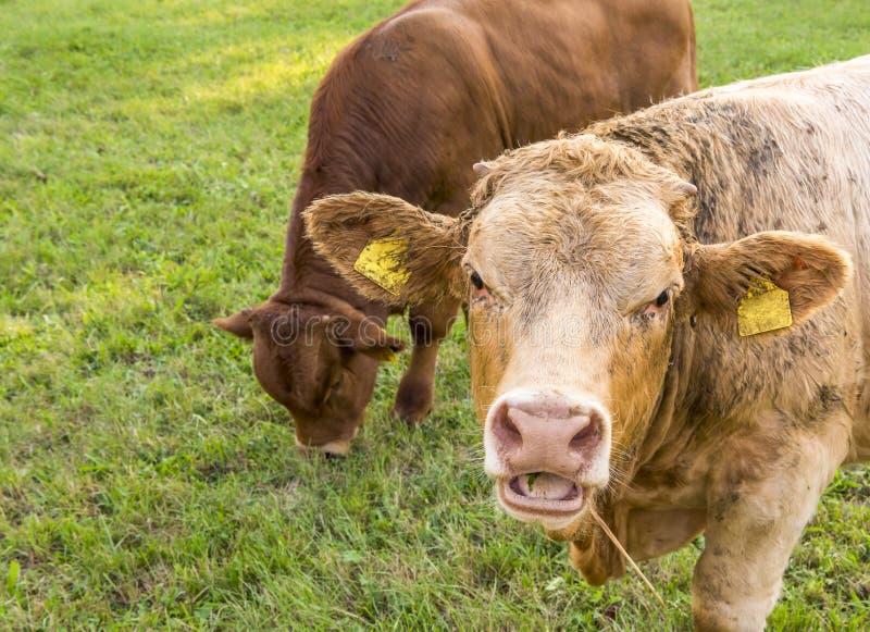 Молодой бык с открытым ртом стоковые фотографии rf