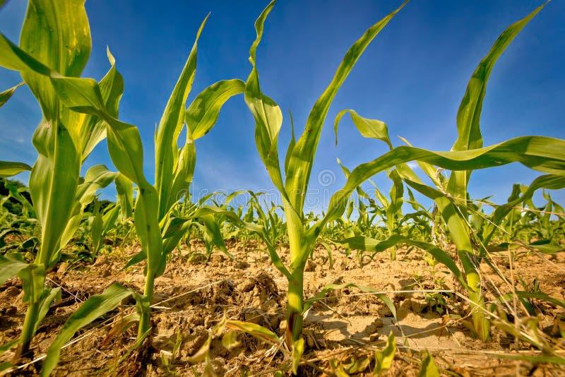 Молодой взгляд полевой культуры кукурузного поля стоковая фотография rf