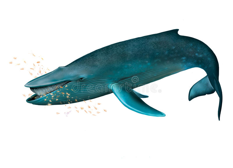 Молодой голубой кит.
