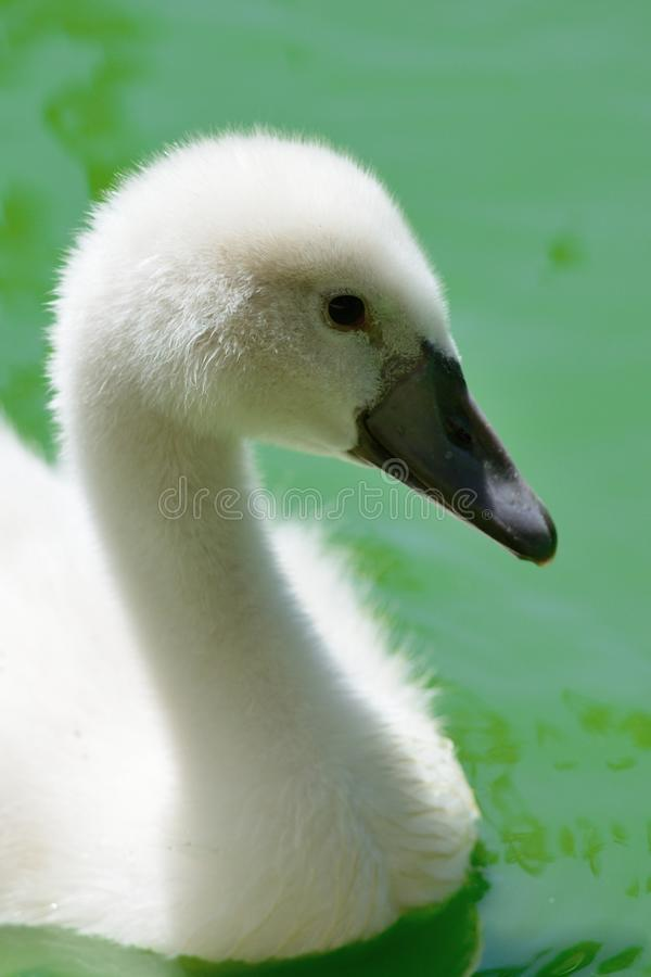 Молодой лебедь в воде стоковые изображения rf