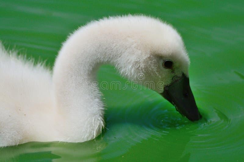 Молодой лебедь в воде стоковое изображение