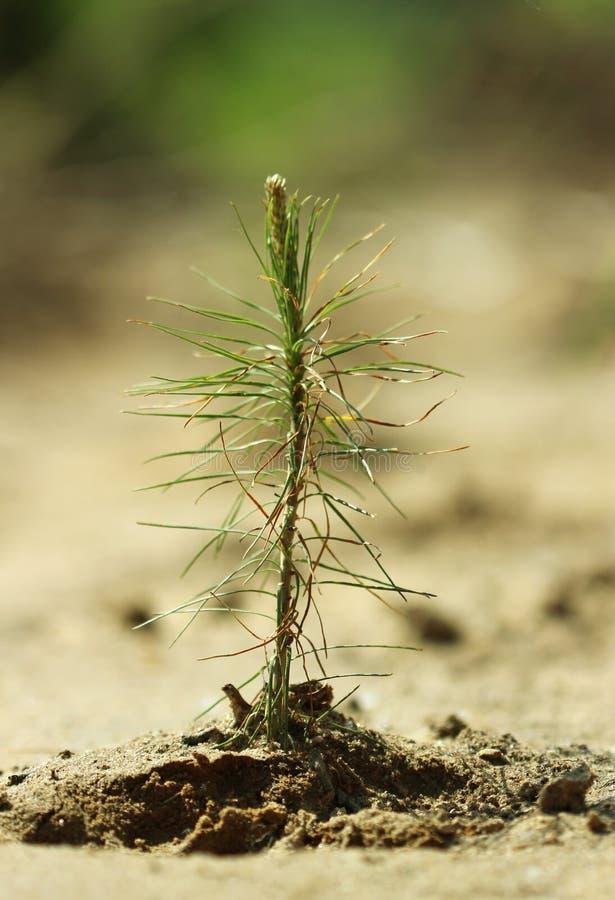 Молодой лес ростка дерева деревца сосен весной стоковое фото