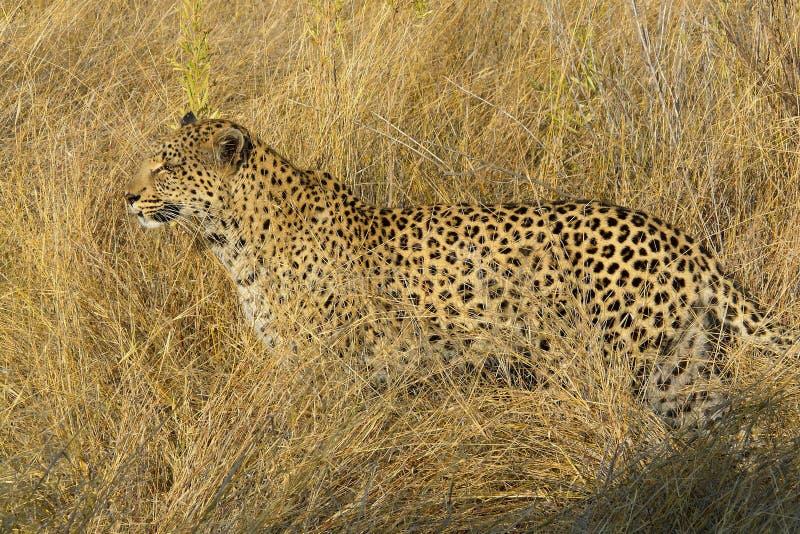 Молодой женский леопард ища животные для того чтобы поохотиться в запасе игры острова Pom-Pom частном, перепаде Okavango, Ботсван стоковое фото rf