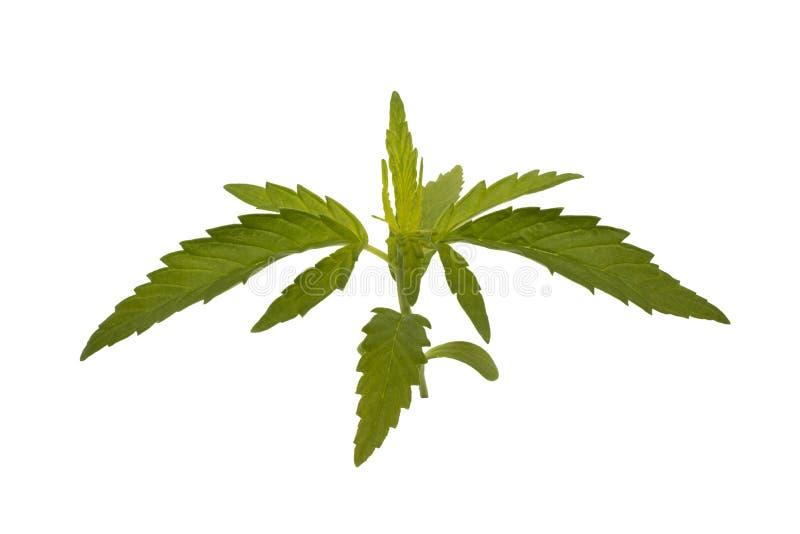 Молодой завод марихуаны стоковые изображения rf