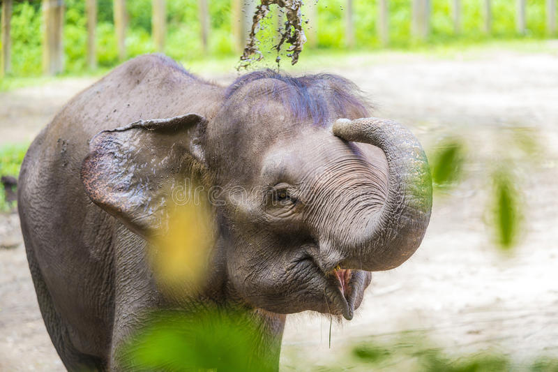 Молодой индийский слон стоковое фото rf