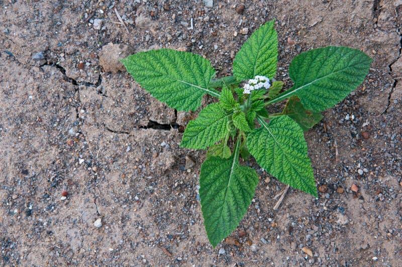 Молодое indicum Heliotropium стоковое изображение rf