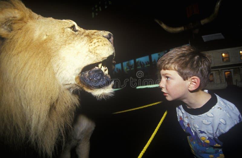 Молодой мальчик всматриваясь на заполненном льве в музее Фэрбенкса и планетарии в St Johnsbury, VT стоковое изображение