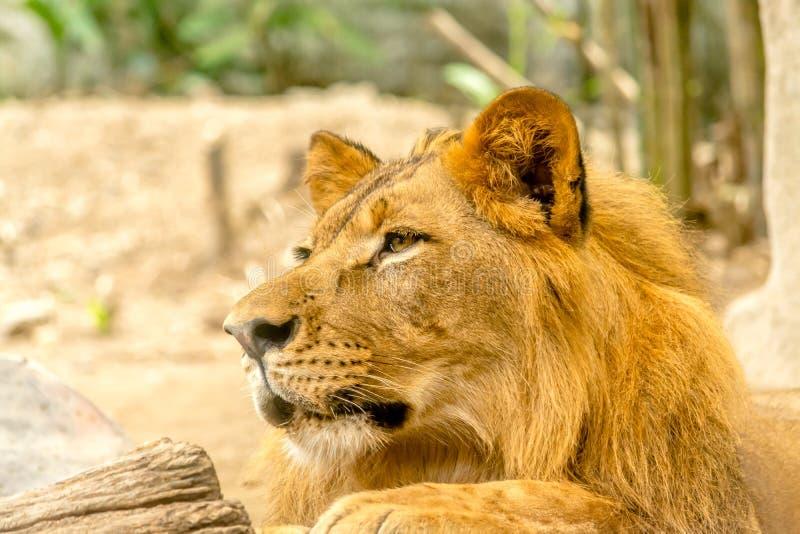 Молодой могущественный красивый лев стоковые изображения