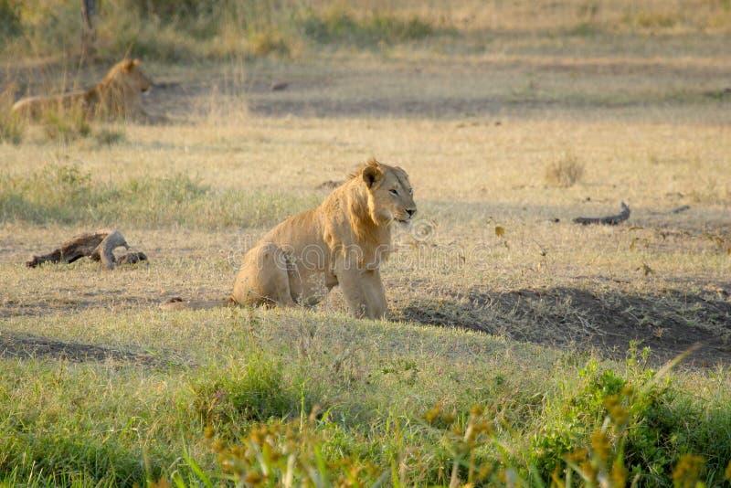 Молодой мужской отдыхать льва стоковое изображение