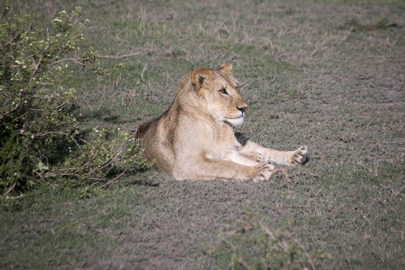Молодой мужской портрет льва, Serengeti, Танзания стоковые изображения rf