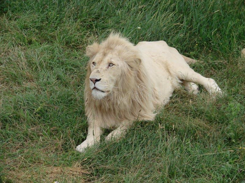 Молодой мыжской лев стоковая фотография rf