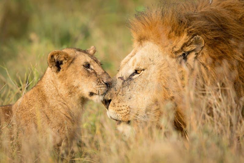 Молодой новичок льва приветствуя большого мужского льва в Serengeti, Танзании стоковое фото