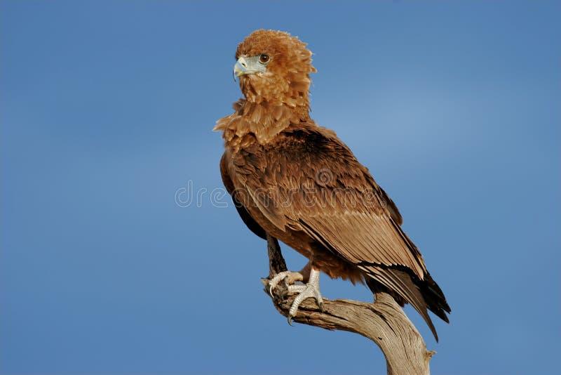 Молодой орел bateleur стоковые изображения rf