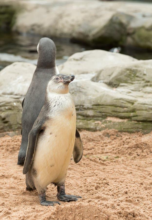 Молодой пингвин Гумбольдта стоковая фотография rf
