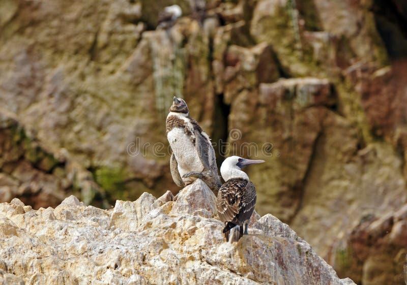 Молодой пингвин и олух на утесе стоковое изображение