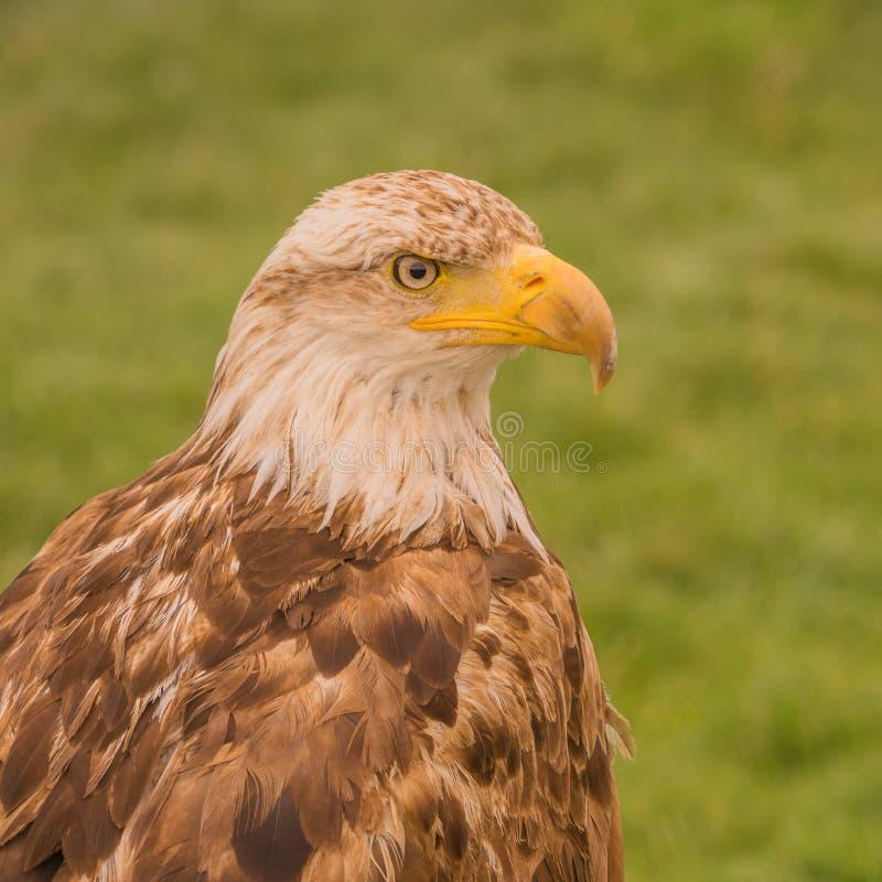 Молодой портрет белоголового орлана стоковые изображения rf