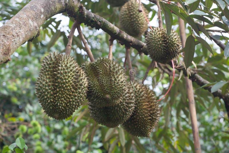 Молодой плодоовощ дуриана стоковые изображения rf
