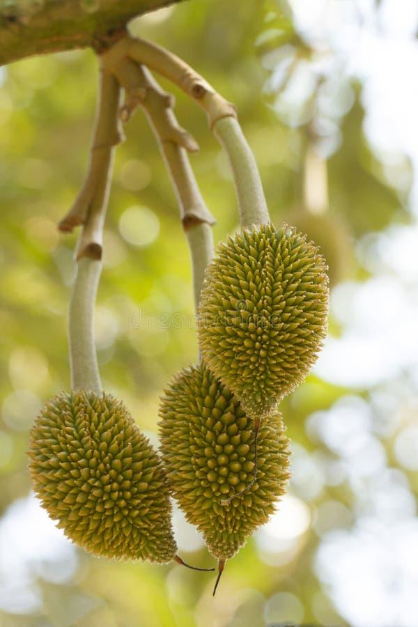 Молодой плодоовощ дуриана стоковое изображение rf