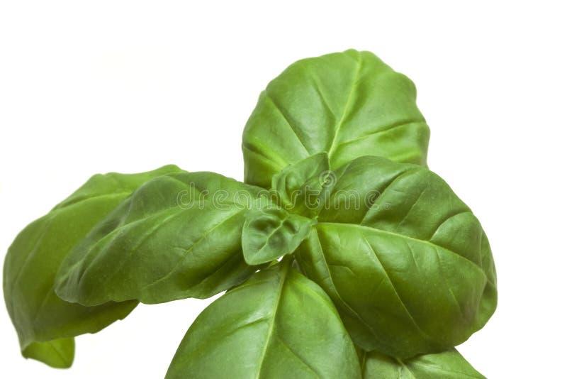 Молодой свежий сочный зеленый sprig базилика стоковые фотографии rf