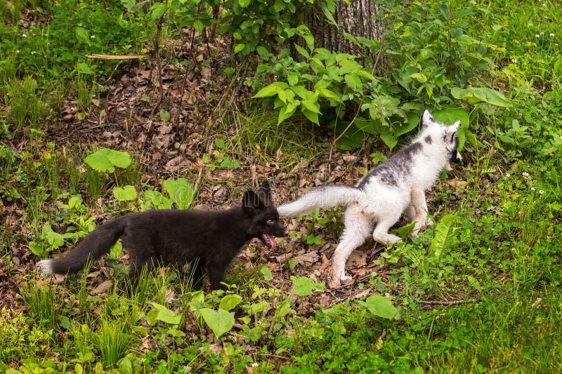 Молодой серебряный Fox гонит после молодого Fox мрамора (лисица лисицы) стоковая фотография rf