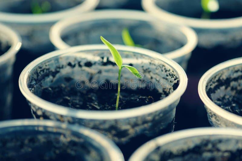 Молодой сец Молодые саженцы растя на windowsill в пластичной чашке стоковая фотография
