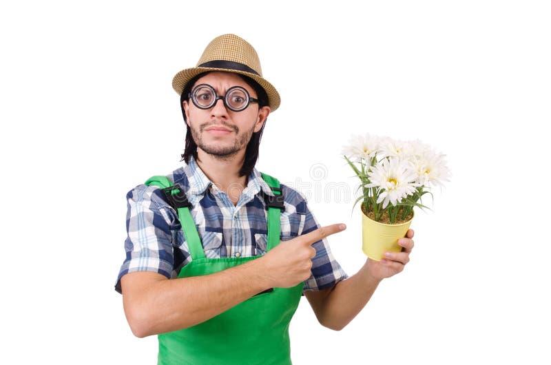 Молодой смешной садовник с баком camomiles стоковые изображения