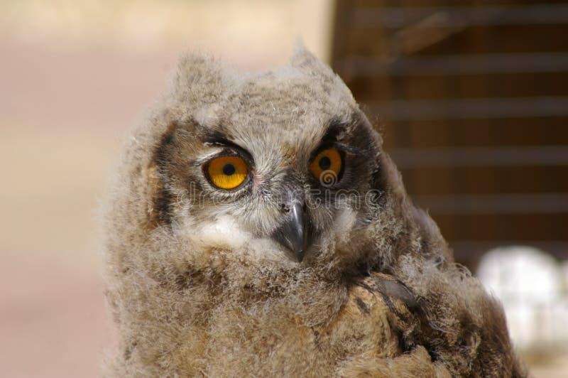 Молодой сыч орла на окуне стоковое изображение rf
