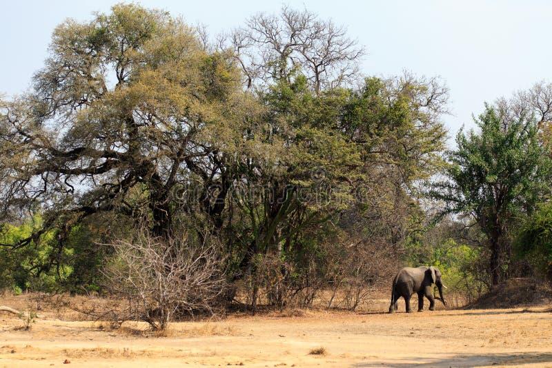 Молодой слон в лесе стоковое фото rf