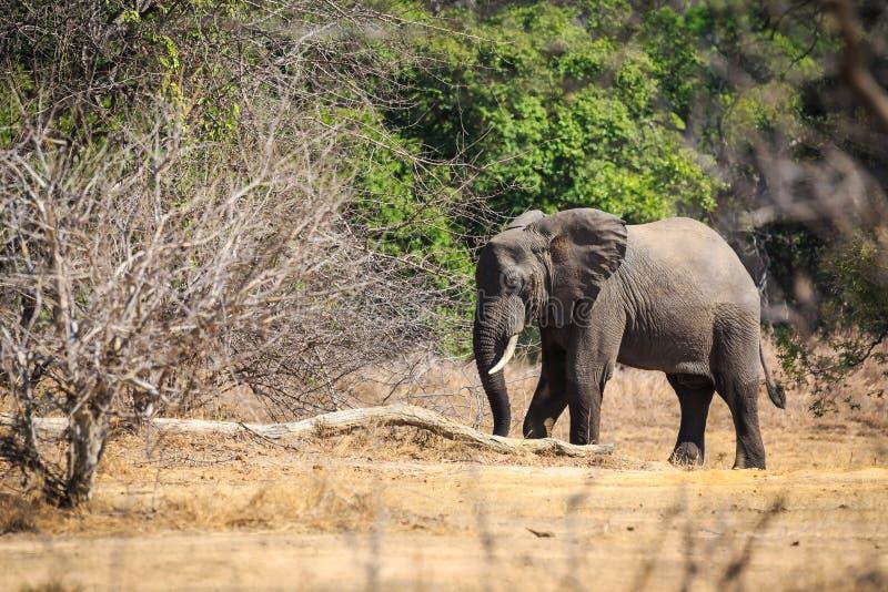 Молодой слон в лесе стоковые фотографии rf