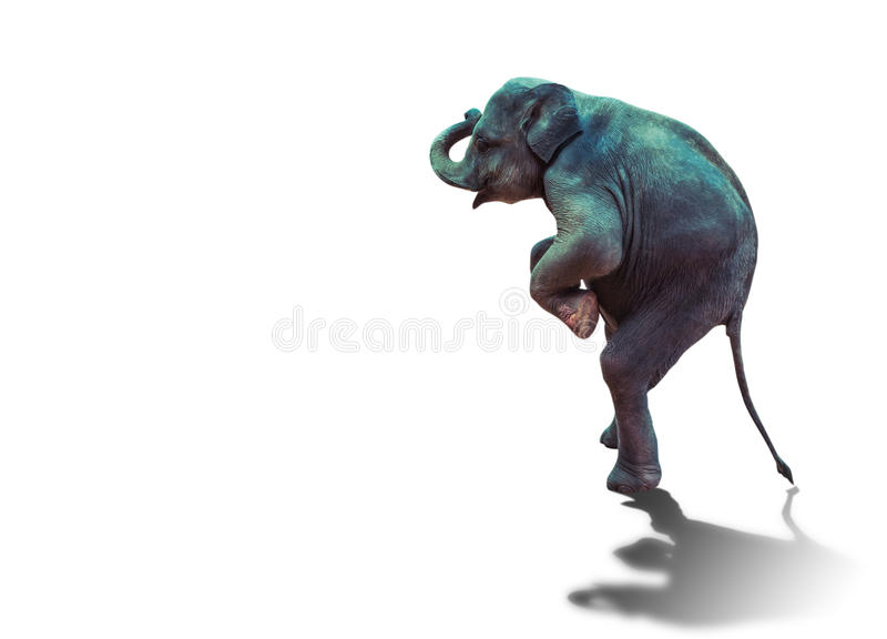 Молодой слон стоя с 2 задними ногами на белой предпосылке стоковые фотографии rf