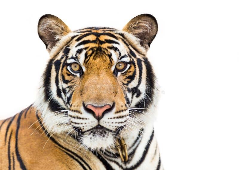 Молодой тигр изолированный на белой предпосылке стоковые изображения