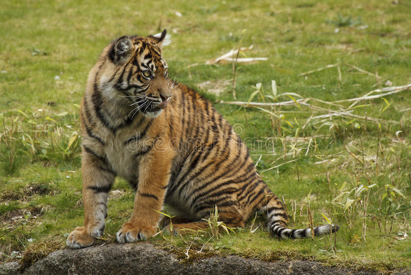 Молодой тигр стоковые фотографии rf