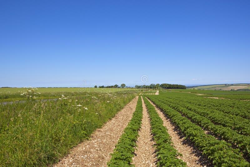 Молодой урожай картошки стоковая фотография