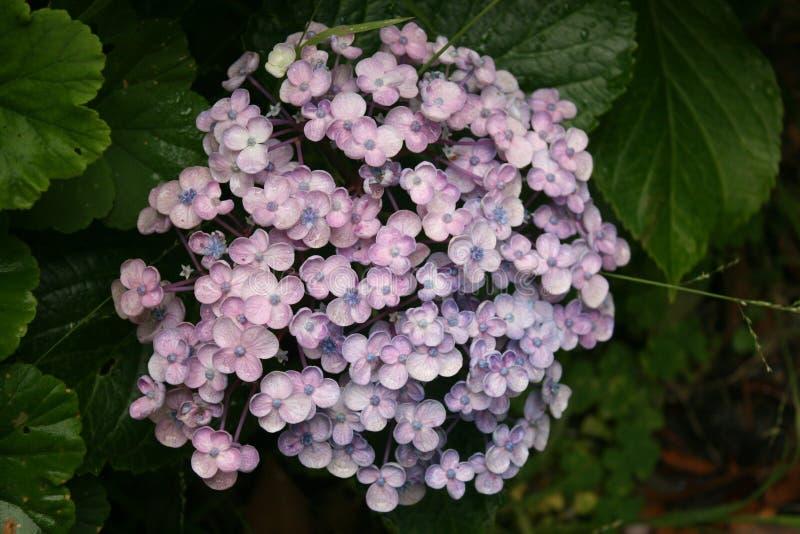 Молодой цветок Hydranger стоковые фотографии rf