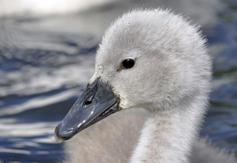 Молодой цыпленок безгласного лебедя стоковые фото