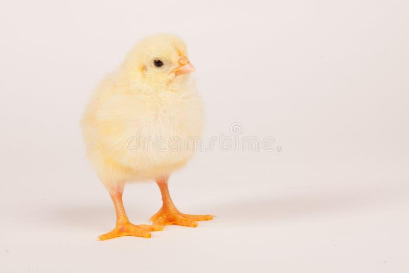 Молодой цыпленок - концепция пасхи стоковая фотография