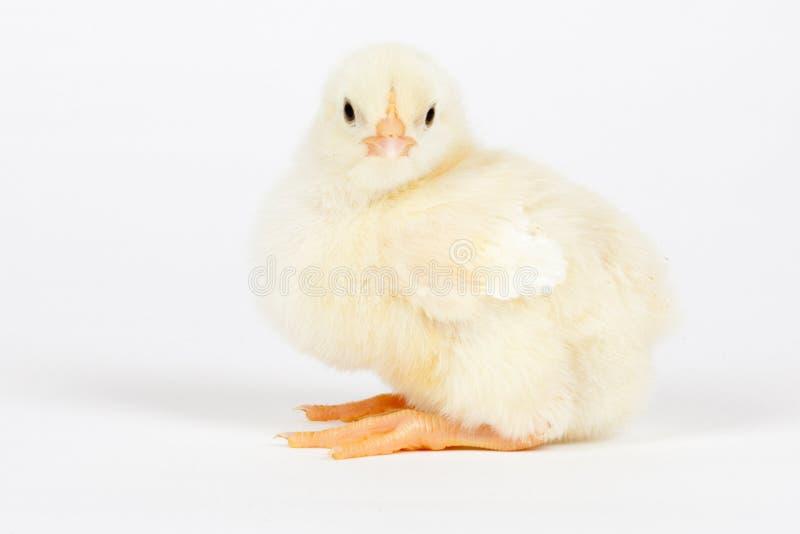 Молодой цыпленок - концепция пасхи стоковые фото