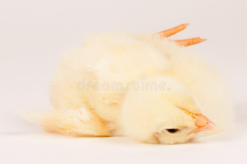Молодой цыпленок - принципиальная схема пасхи стоковые фото