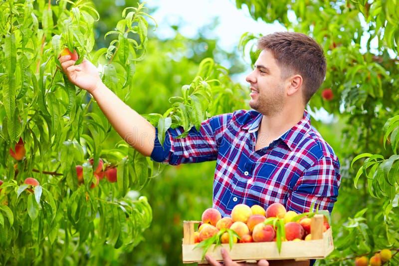 Молодой человек жать персики в саде плодоовощ стоковая фотография